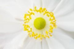 Cœur de fleur d'anémone