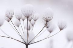 Fleur de berce recouverte de neige - Heracleum