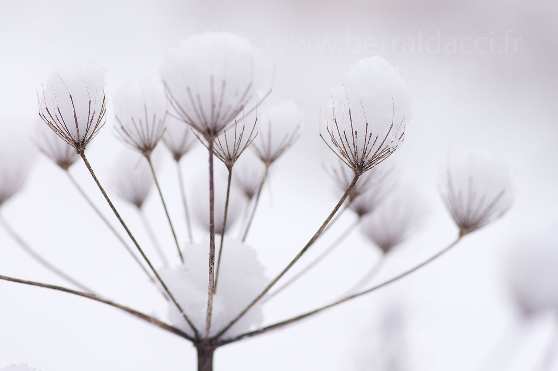 Fleur de berce recouverte de neige , Heracleum. \u201c