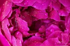 Fleur de pivoine recouverte de rosée