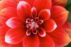Fleur de dahlia rouge