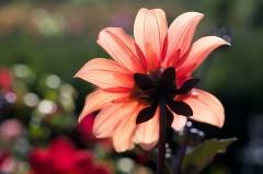 Fleur de dahlia à contre-jour
