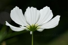 Fleur de Cosmos blanc - Cosmos bipinnatus