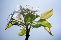 Fleur de poirier à contre-jour - Pyrus communis