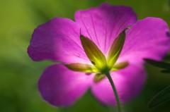 Fleur de géranium à contre-jour