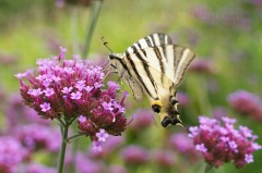 Papillon Flambé sur une verveine de Buenos Aires - Iphiclides podalirius