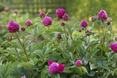 Pivoines herbacées en fleur