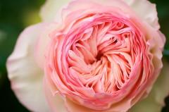 Rose Pierre de Ronsard