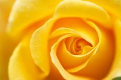 Rose jaune en gros plan