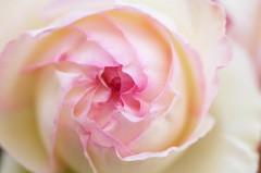 Gros plan sur une rose Pierre de Ronsard