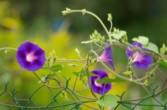 Volubilis - Ipomoea purpurea